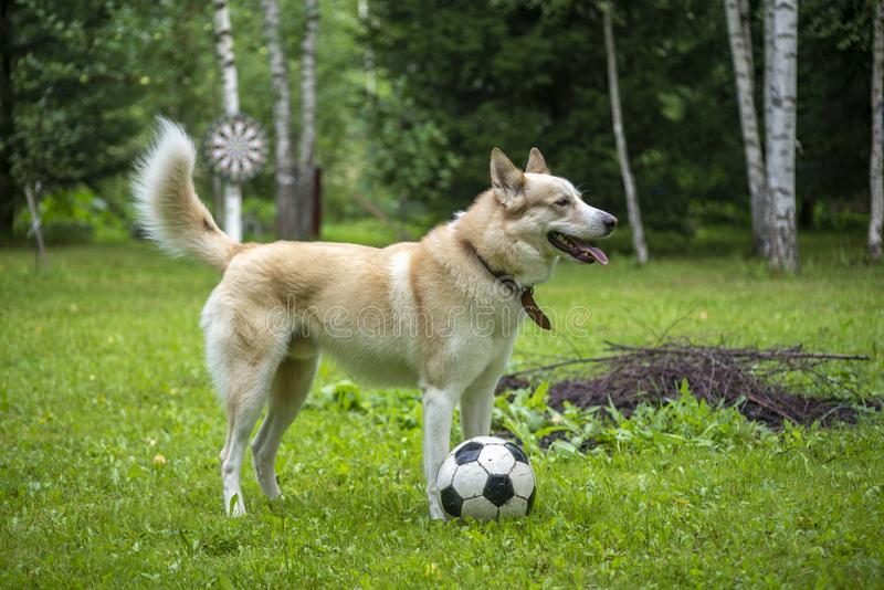 Dog with soccer ball. Profile portrait of dog in backyard with soccer ball or football on sunny day royalty free stock images