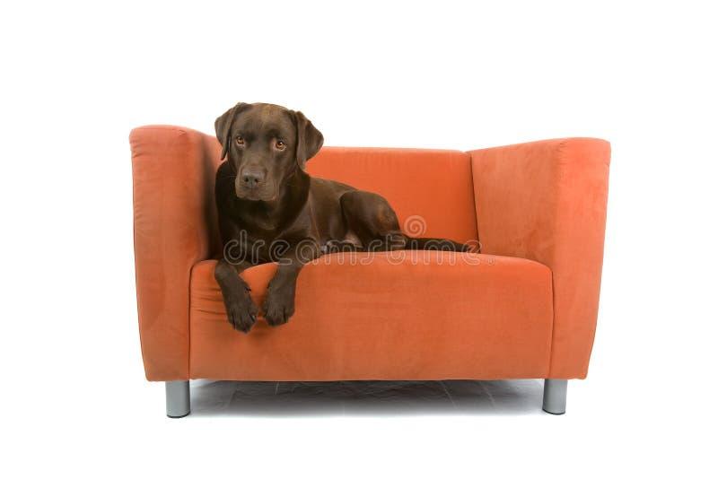 Dog on sofa. Chocolate labrador dog lying on colorful sofa, isolated on white background