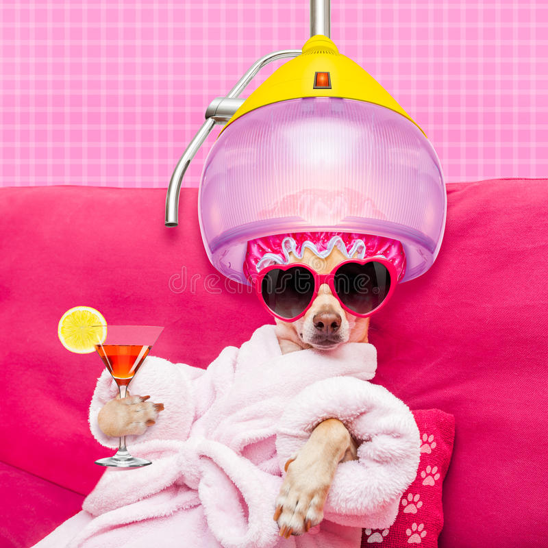 Dog spa wellness. Chihuahua dog relaxing and lying, in spa wellness center , wearing a bathrobe and funny sunglasses with hair dryer or drying hood drinking a royalty free stock photo