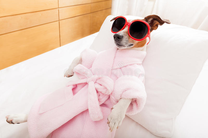 Dog spa wellness. Jack russell dog relaxing and lying, in spa wellness center ,wearing a bathrobe and funny sunglasses