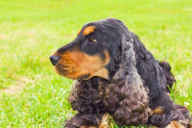 Dog Spaniel breed stock photos