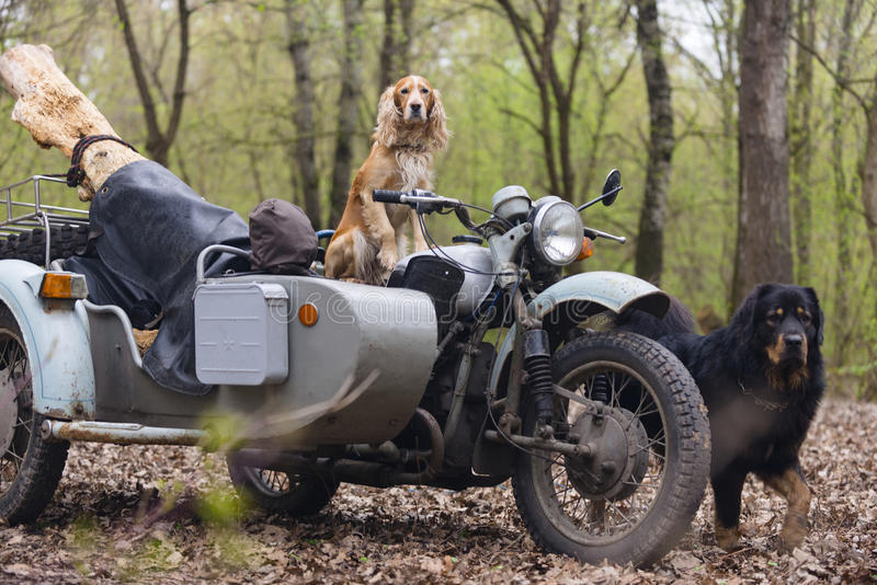 Dog spaniel and old Soviet motorcycle in the woods royalty free stock photography