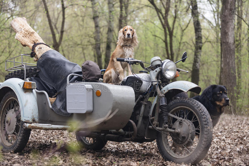 Dog spaniel and old Soviet motorcycle in the woods royalty free stock images