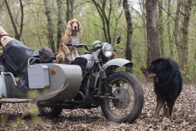 Dog spaniel and old Soviet motorcycle in the woods royalty free stock photos