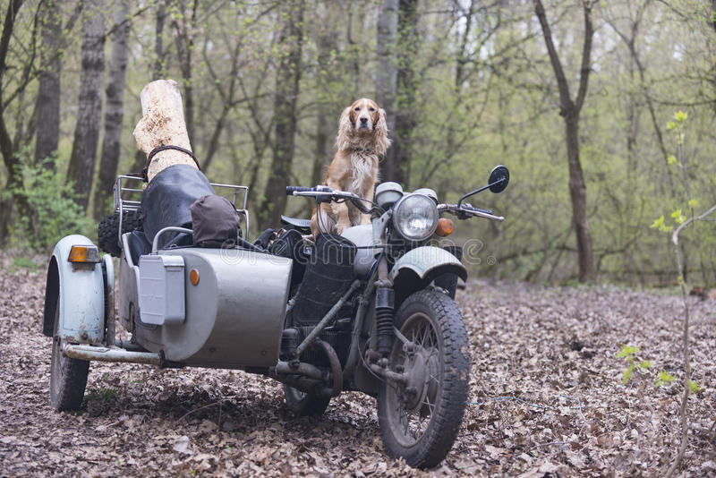 Dog spaniel and old Soviet motorcycle in the woods royalty free stock photo