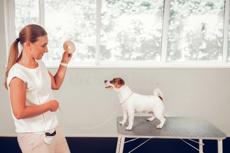 Dog specialist playing with cute white dog standing on metal table royalty free stock images
