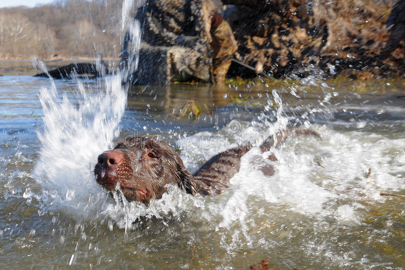 Dog Splash Down. Dog charging through water to retrieve object royalty free stock photo