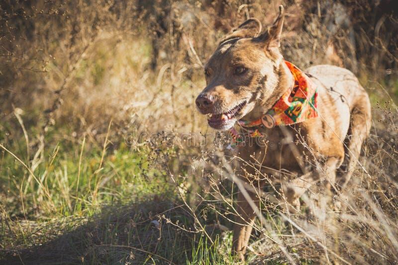 Dog spring i fält i Gering, Nebraska fotografering för bildbyråer
