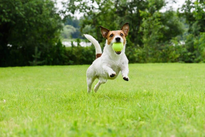 Dog spring med tennisbollen i mun på kamera royaltyfri bild