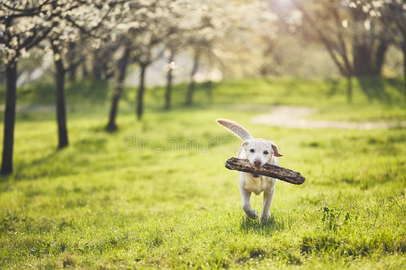 Dog is in spring nature royalty free stock photography