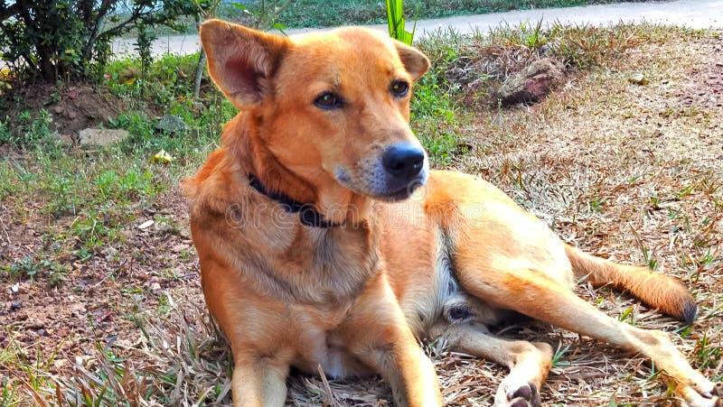 The dog of Sri Lanka stock photos