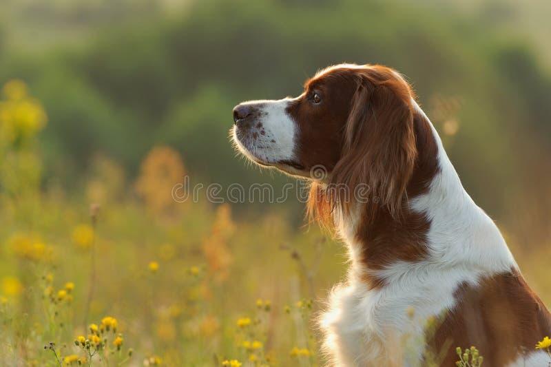 Dog ståenden, den irländska röda och vita setter på guld- solnedgångbackgr royaltyfri foto