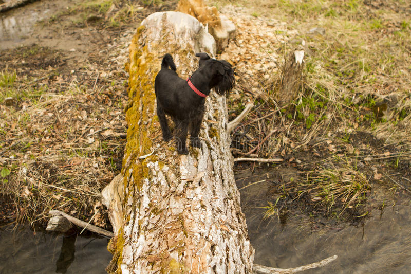 Dog standing on big tree brunch at autumn day royalty free stock image