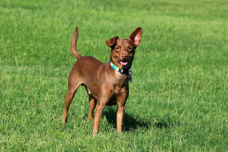 Dog Standing in the Grass. Dog, miniature pinscher, playing in the green grass at the summer park