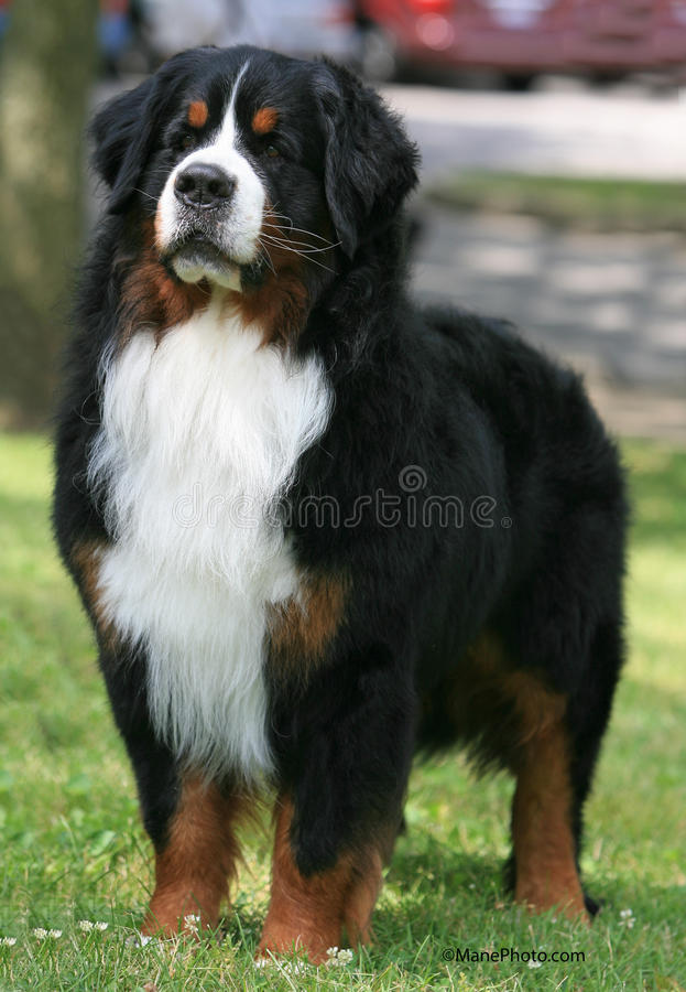 Dog standing looking forward stock image