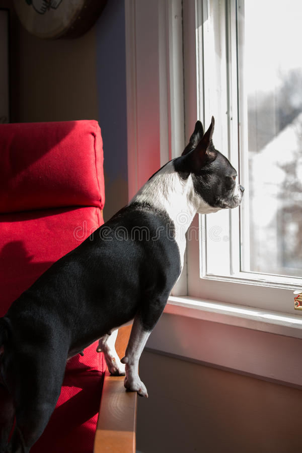 Download Dog Standing Looking Out Window Stock Image - Image of door, loneliness: 38761547