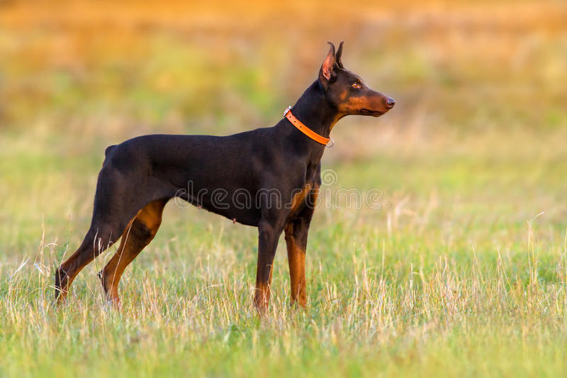 Dog standing outdoor stock photo