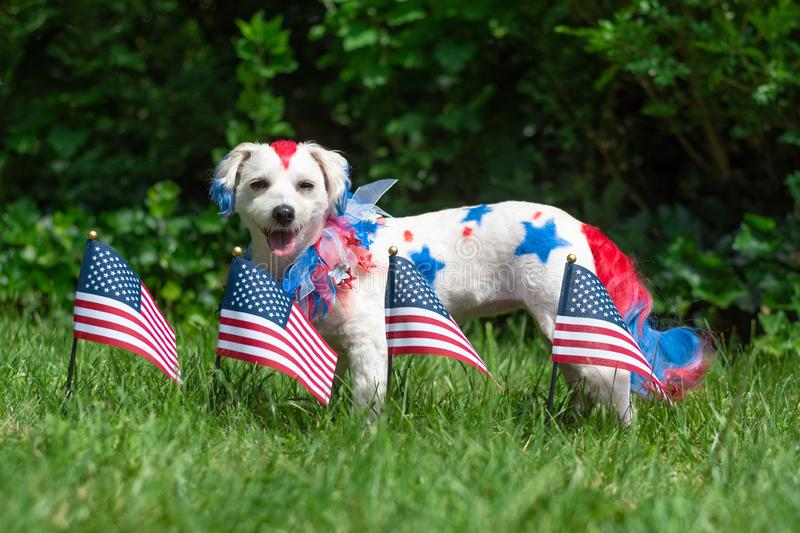 Dog standing with small flags. Small dog standing outside in the sun with american flags royalty free stock image