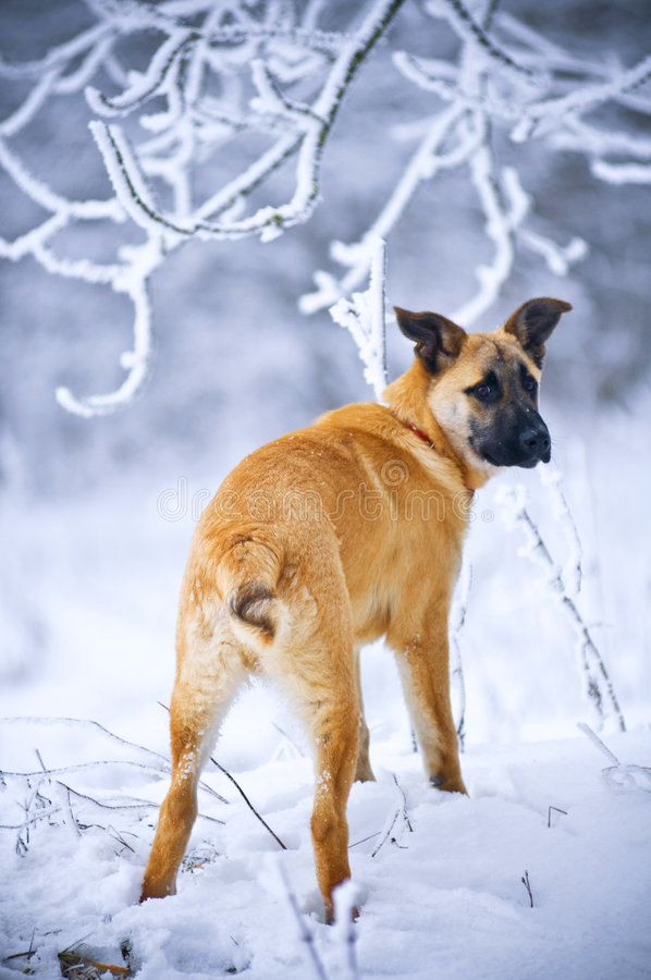Dog standing in snow royalty free stock photos