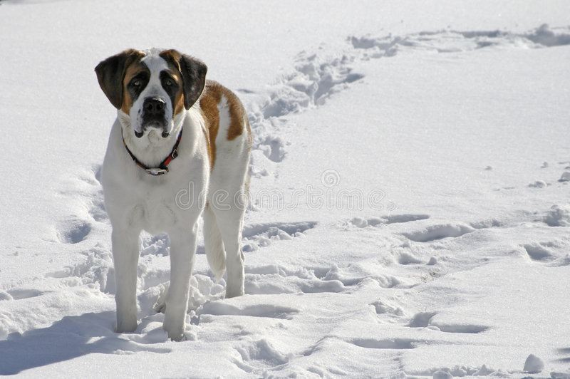 Dog Standing in Snow stock image