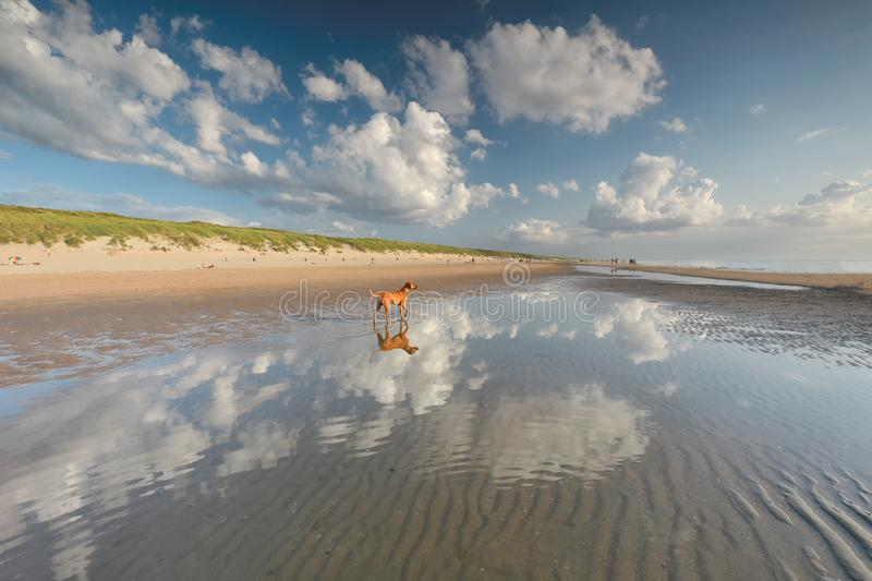 Dog standing in water on north sea beach. On sunny day stock photos