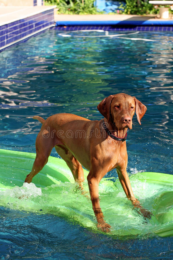 Dog stands on raft in pool. A talented dog, breed is Vizsla, stands on a lime green rubber raft in a swimming pool stock photo