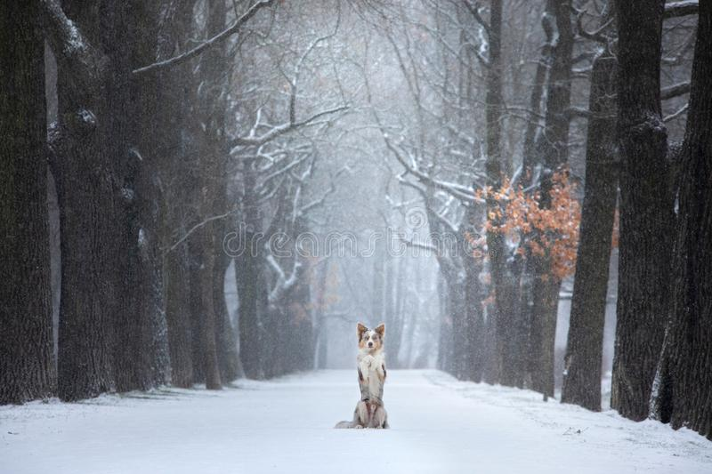 Dog stands by a tree in the park. pet for a walk in the park in winter. Snowy road stock photography