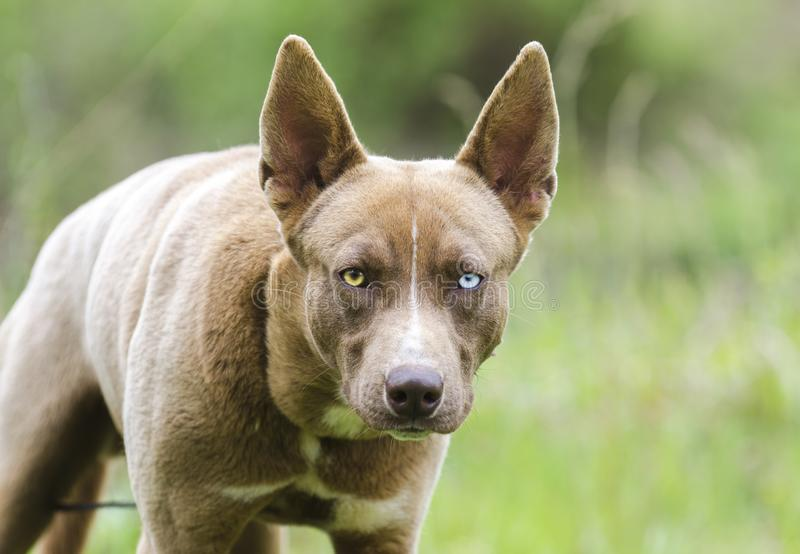 Dog stare, Pharaoh Hound Husky mix dog with one blue eye stock photos