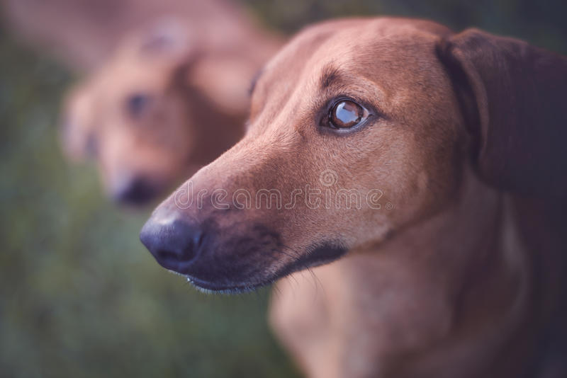 Dog Staring stock images