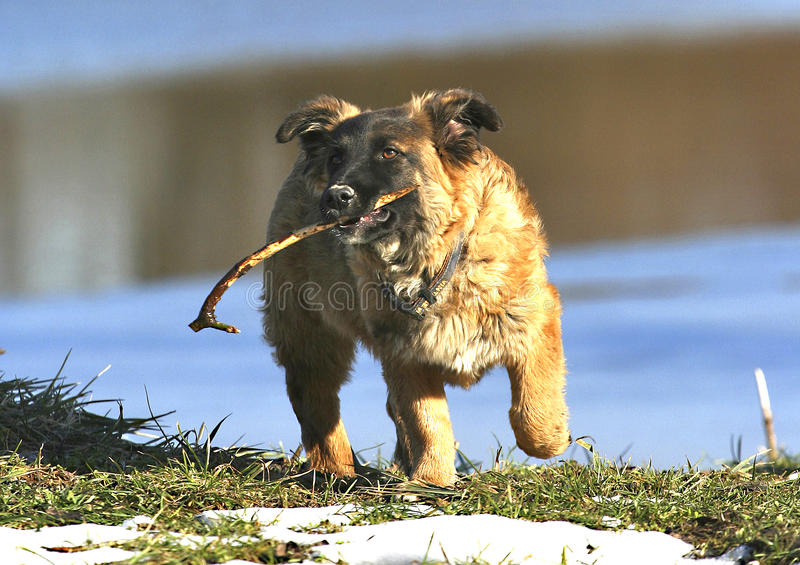 Download Dog with stick stock photo. Image of brown, active, little - 23918486