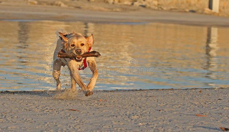Dog with stick stock photo