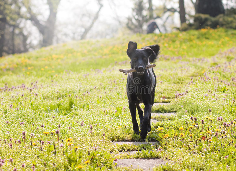 Download Dog with stick in the park stock image. Image of canine - 17069899