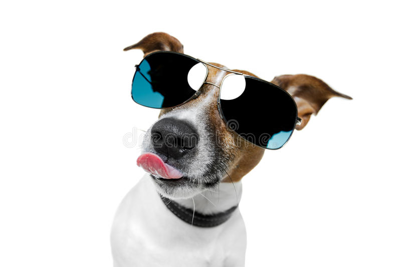 Dog sticking out the tongue stock photography
