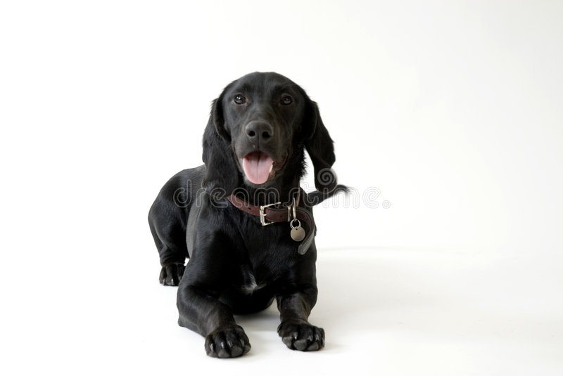 Dog in the studio. Black dog - Labrador - in the studio stock photography