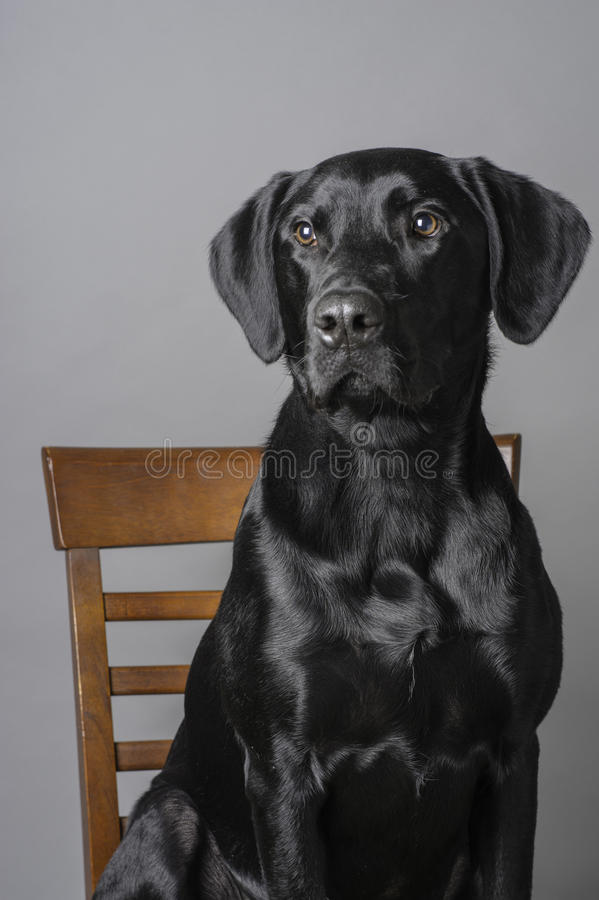 Dog Studio Portrait. Studio rescue dog portrait of a Labrador Retriever sitting in a chair, with a mid tone gray background stock photo