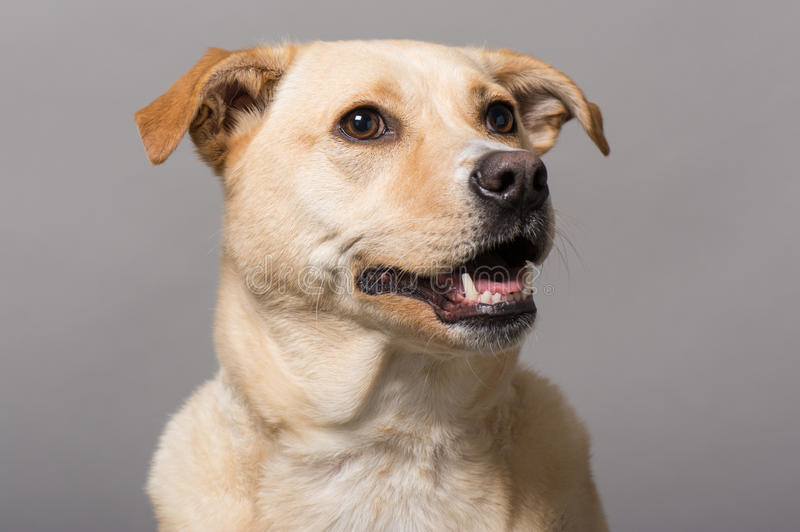 Dog Studio Portrait. Studio rescue dog portrait with a mid tone gray background stock photos