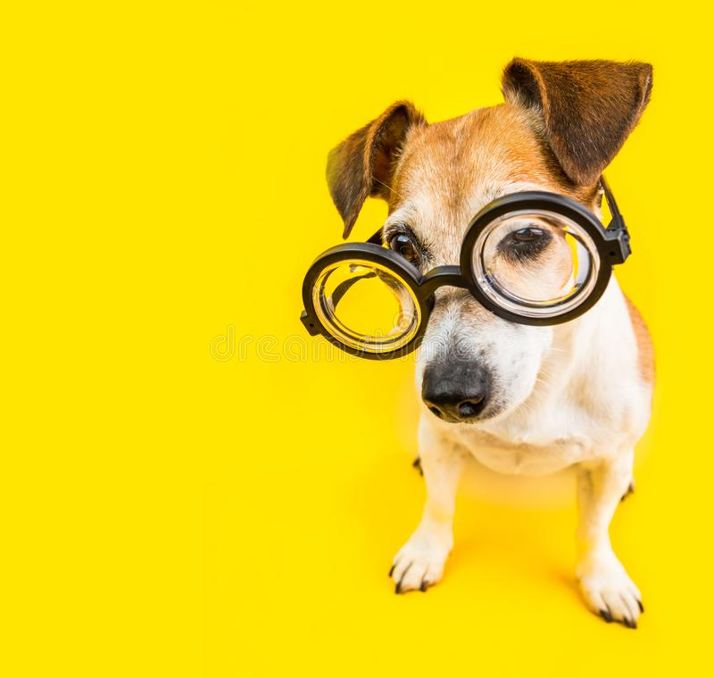 Free Dog Study Back To School. Yellow Bright Square. Nerd In Glasses. Smart Pet Royalty Free Stock Photos - 123360008