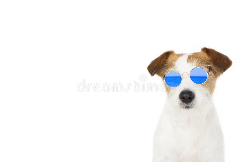 DOG SUMMER. FASHION JACK RUSSELL DOG WEARING BLUE MIRROR GLASSES ISOLATED ON WHITE BACKGROUND READY FOR BEACH. BANNER SPACE FOR royalty free stock image