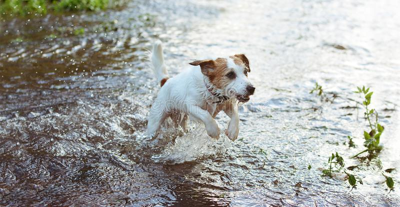 DOG SUMMER. JACK RUSSELL DOG RUNNING AND SPLASHING WATER IN A LAKE, RIVER OR BEACH royalty free stock photos