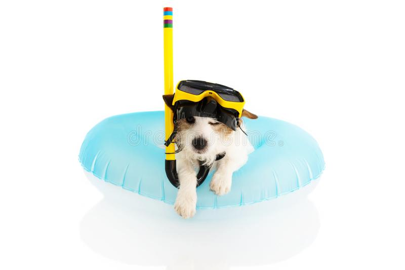 DOG SUMMER VACATIONS. JACK RUSSELL SUNBATHING WITH BLUE AIR POOL AND SNORKEL GOGGLES ON HOLIDAYS. ISOLATED AGAINST WHITE. BACKGROUND stock photos