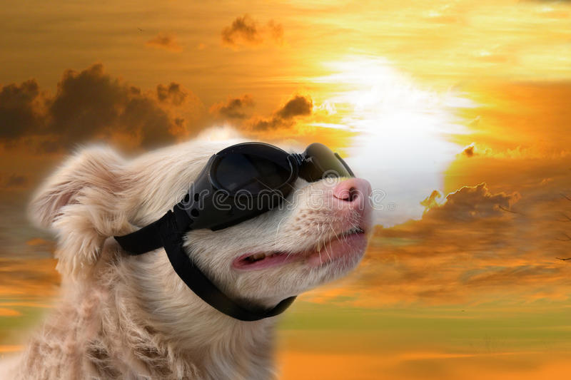 Dog with sunglasses. Climate changing.The sun is so bright that even animals must wear sunglasses