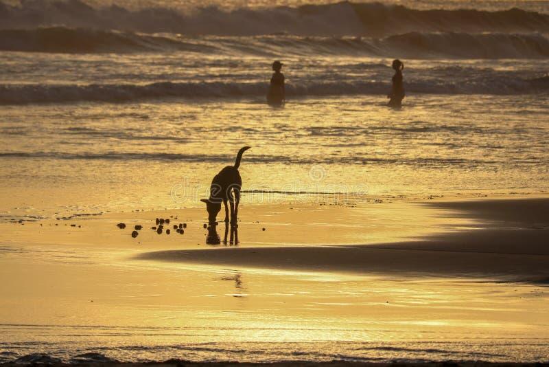 Dog at sunset time at echo beach in Canggu Bali indonesia royalty free stock photo