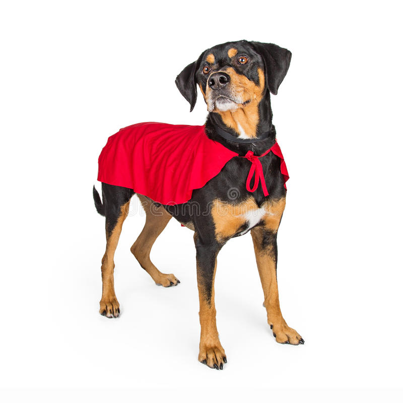 Dog in Super Hero Cape royalty free stock images
