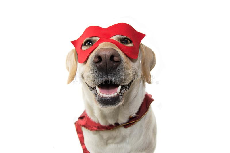 DOG SUPER HERO COSTUME. LABRADOR CLOSE-UP WEARING A RED MASK AND A CAPE. CARNIVAL OR HALLOWEEN. ISOLATED STUDIO SHOT AGAINST stock photo