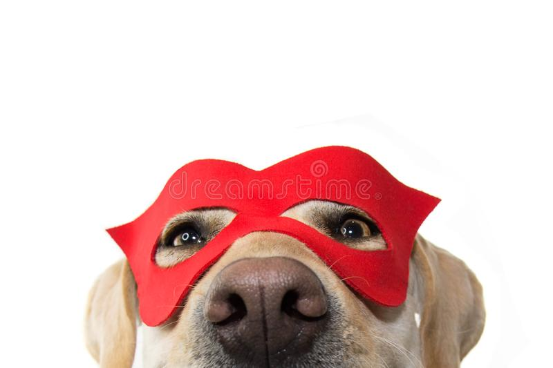 DOG SUPER HERO COSTUME. LABRADOR CLOSE-UP WEARING A RED MASK. CARNIVAL OR HALLOWEEN. ISOLATED STUDIO SHOT ON WHITE BACKGROUND.  stock photography