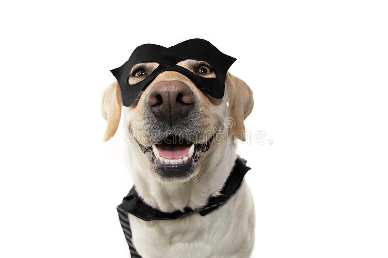 DOG SUPER HERO COSTUME. LABRADOR RETRIEVER WEARING A BLACK MASK AND A CAPE.  CARNIVAL OR HALLOWEEN HOLIDAY. ISOLATED STUDIO SHOT. DOG SUPER HERO COSTUME stock photos