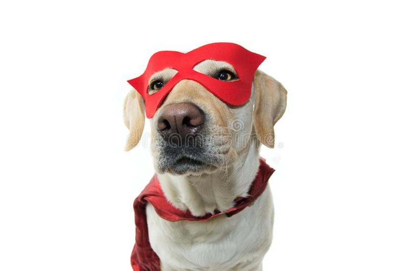 DOG SUPER HERO COSTUME. LABRADOR WEARING A RED MASK AND A CAPE.  CARNIVAL OR HALLOWEEN DISGUISE. ISOLATED STUDIO SHOT AGAINST. WHITE BACKGROUND stock photography