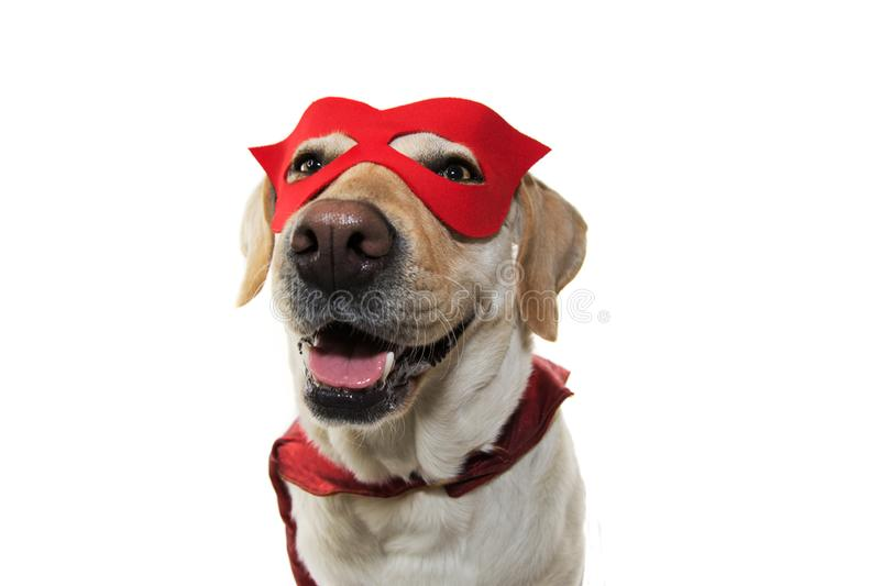 DOG SUPER HERO COSTUME. LABRADOR WEARING A RED MASK AND A CAPE. CARNIVAL, MARDI GRAS OR HALLOWEEN. ISOLATED STUDIO SHOT ON WHITE. BACKGROUND royalty free stock photos