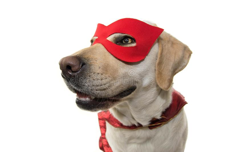 DOG SUPERHERO COSTUME. LABRADOR CLOSE-UP WEARING A RED MASK AND A CAPE. CARNIVAL OR HALLOWEEN. ISOLATED STUDIO SHOT AGAINST WHITE royalty free stock photos