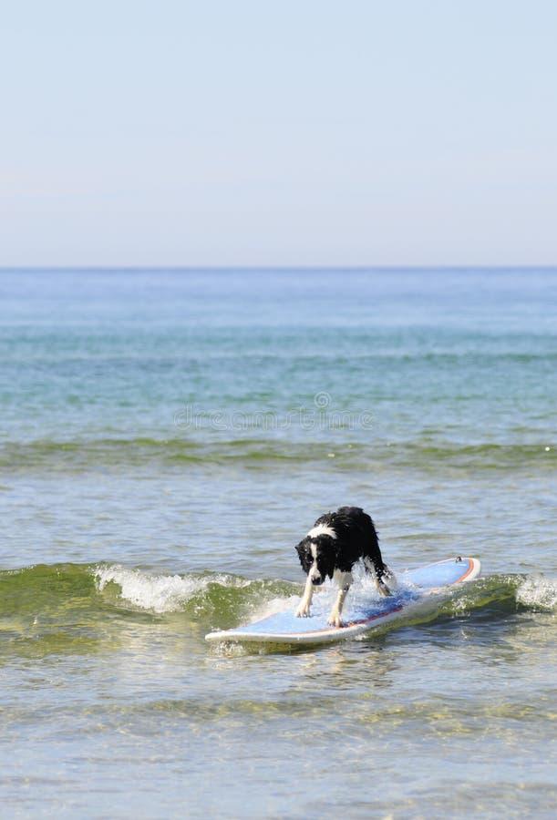 Download Dog surf stock photo. Image of recreation, longboard, ocean - 5940550